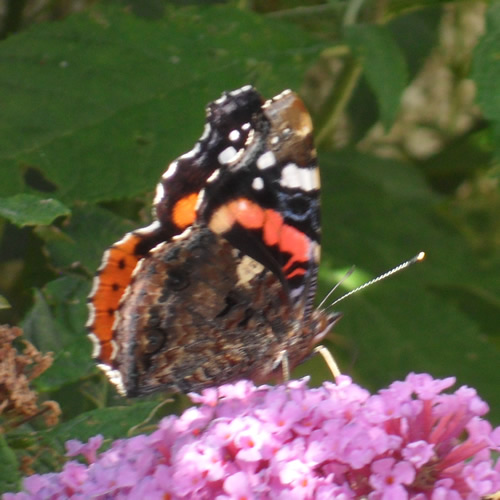 A Red Admiral butterfly