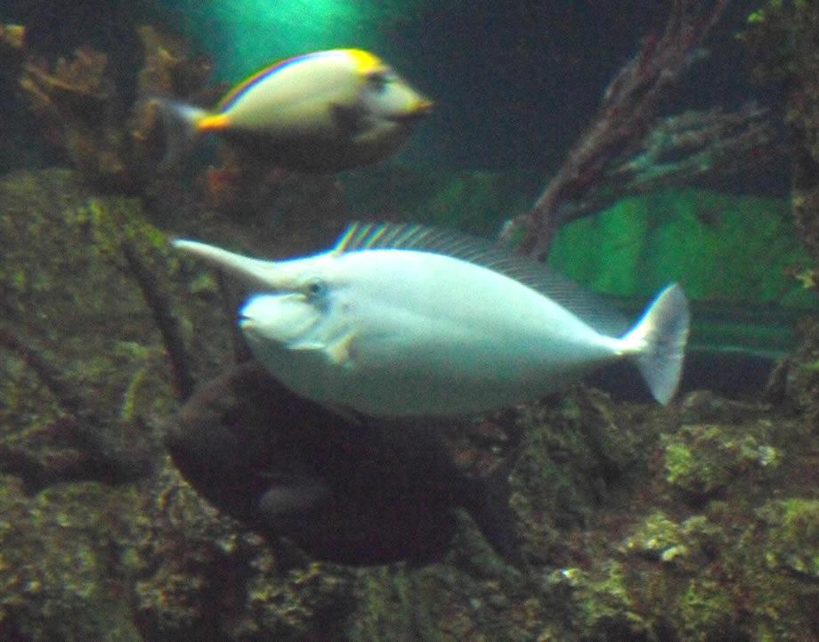 A unicorn fish